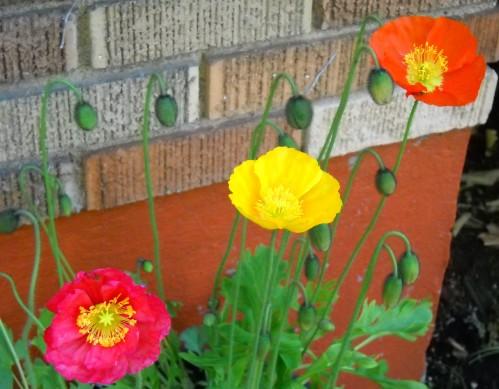 Poppies=Summer Joy