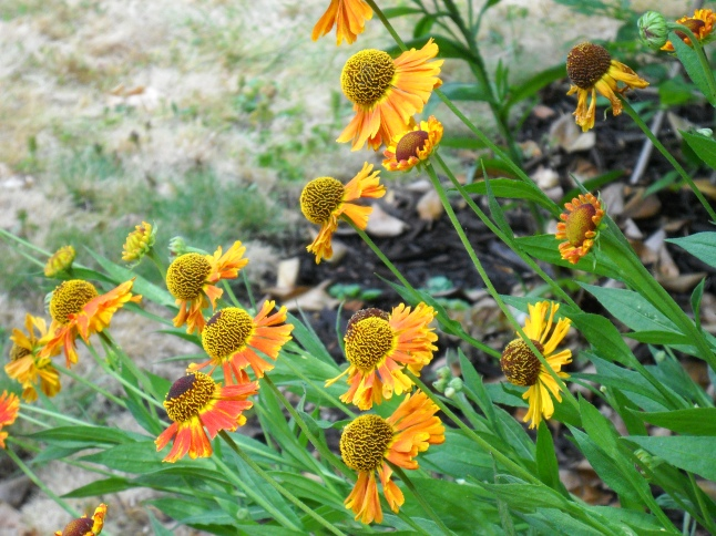 HELENium flowers sway towards the sun